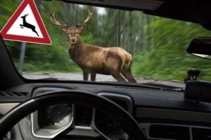 Hirsch steht im Wald vor fahrendem Auto